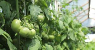 Szklarniany pomidorowy chaszcze z zielonymi pomidorami w nim zbiory