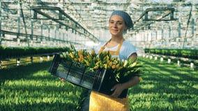 Szklarniany pracownik trzyma kosz tulipany i uśmiechy przy kamerą zdjęcie wideo