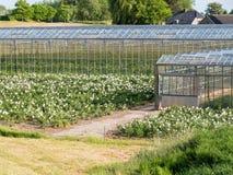 Szklarnie kwiat pepiniera w polderze Bommelerwaard, Nether Obraz Stock