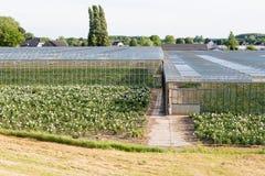 Szklarnie kwiat pepiniera w polderze Bommelerwaard, Nether Obrazy Stock