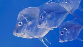 Szkoła atlantycki moonfish zbiory