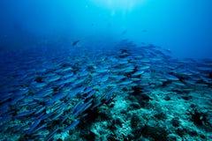 Szkoła błękitny Indiański Skumbriowy podwodny wzdłuż nura miejsca, Baa atol, Maldives zdjęcia royalty free