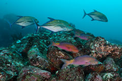 Szkoła kózki ryba z Jack ryba, Pulah Weh, Banda Aceh, Wewnątrz obrazy stock