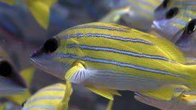 Szkoła Lucian ryba paskował fotografa podwodnego zadziwiającego dno morskie w Maldives zbiory wideo