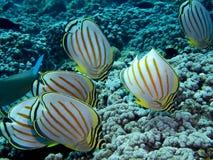 Szkoła Ozdobny Motyli Tropikalny Rybi łasowanie na koralu Zdjęcie Royalty Free