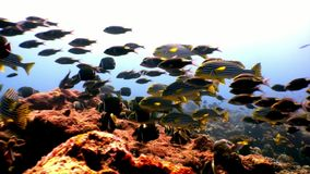 Szkoła pasiasta ryba i lucian podwodny na dnie morskim w Maldives zbiory wideo