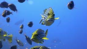 Szkoła pasiasta ryba i lucian podwodny na dnie morskim w Maldives zdjęcie wideo