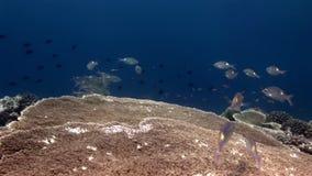 Szkoła rybi podwodny na tle ciężki acropora koral w Maldives zdjęcie wideo
