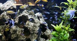 Szkoła słodkowodna ryba w akwarium zbiory wideo