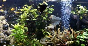 Szkoła słodkowodna ryba w akwarium zdjęcie wideo