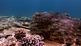 Szkoła unikalny magiczny rybi podwodny zadziwiający dno morskie w Maldives zbiory