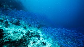 Szko?a b??kitny India?ski Skumbriowy podwodny wzd?u? nura miejsca, Baa atol, Maldives obrazy royalty free
