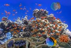 Szkoła Koralowi Goldfishes Fotografia Royalty Free