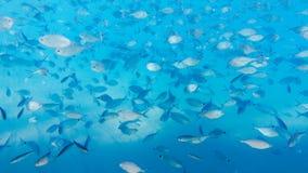 szkoła ryb Obraz Royalty Free