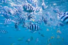 Szkoła ryba Obrazy Royalty Free