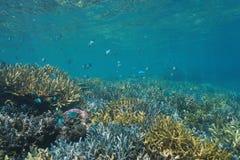 Szkoła rybia damselfish rafa koralowa Nowy Caledonia Zdjęcie Royalty Free