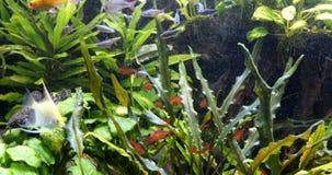 Szko?a s?odkowodna ryba w akwarium zbiory