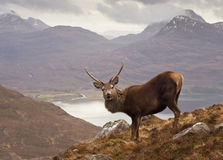 Szkoccy średniogórza, dziki jeleń obrazy royalty free