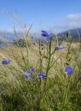 Szkoccy Dzicy kwiaty w Corrour Obraz Stock