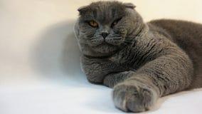 Szkoccy fałdu kota kłamstwa na podłogowym obszyciu posyłają 2 zdjęcia royalty free