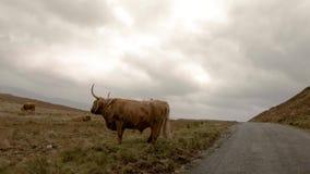 Szkoccy górscy bydło obok pojedynczego śladu drogi na wyspie Skye, Szkocja - zbiory wideo