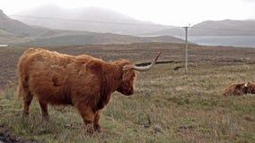 Szkoccy górscy bydło obok pojedynczego śladu drogi na wyspie Skye, Szkocja - zdjęcie wideo
