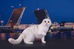Szkoccy kotów spacery na nabrzeżu Obrazy Stock