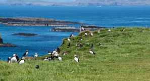 Szkocja, colourful maskonura groupe przy wybrzeżem Treshnish wyspy obraz stock