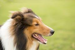 Szkocja pasterski pies obraz stock