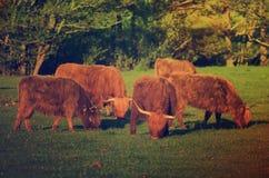 Szkocja średniogórza krowy Fotografia Royalty Free