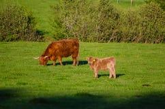 Szkocja średniogórza krowy Fotografia Stock