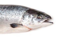 Szkocka Atlantyckiego łososia ryba fotografia stock