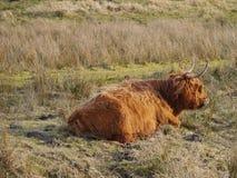 Szkocka górska krowa w polach Fotografia Stock