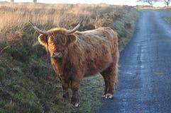 Szkocka G?rska krowa na kraju pas ruchu na moorland zdjęcia stock