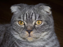 szkocka kota Zdjęcie Stock