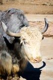 Szkocka krowa Obrazy Stock