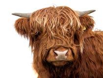 Szkocka krowa na białym tle odizolowywającym zdjęcie royalty free
