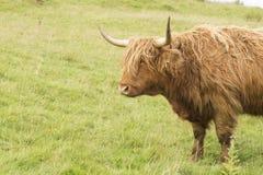 Szkocka krowa w zielonej trawie zdjęcia stock