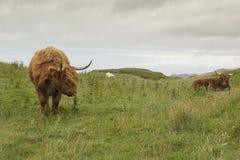 Szkocka krowa w zielonej trawie obraz royalty free