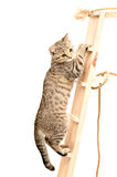 Szkocka Prosta figlarka wspina się drewnianych schodki Zdjęcie Royalty Free