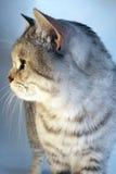 Szkocki brytyjski kot Popielata tabby szynszyla Zdjęcia Royalty Free