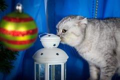 Szkocki fałdu kot na błękitnej tła obwąchania lampie dla grzejnych świeczek Fotografia Stock