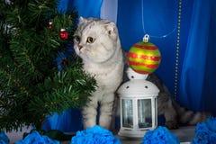 Szkocki fałdu kot na błękitnym tle blisko świerczyny, Fotografia Royalty Free