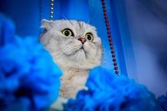 Szkocki fałdu kot na błękitnym tle blisko błękitnych pompons, Zdjęcie Royalty Free