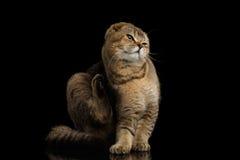 Szkocki fałdu kota obsiadanie, Drapa za jego ucho, czerń obrazy royalty free