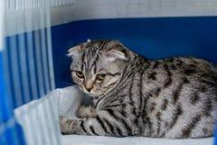Szkocki fałdu kota traken w klatce przy weterynaryjną kliniką po operacji, odzyskuje od anestezji Anestezja wewnątrz zdjęcia royalty free