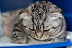 Szkocki fałdu kota traken w klatce przy weterynaryjną kliniką po operacji, odzyskuje od anestezji Anestezja wewnątrz fotografia royalty free