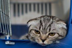 Szkocki fałdu kota traken w klatce przy weterynaryjną kliniką po operacji, odzyskuje od anestezji Anestezja wewnątrz obraz stock