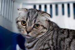 Szkocki fałdu kota traken w klatce przy weterynaryjną kliniką po operacji, odzyskuje od anestezji Anestezja wewnątrz zdjęcie royalty free