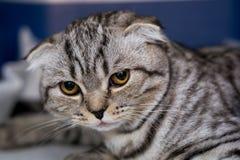Szkocki fałdu kota traken w klatce przy weterynaryjną kliniką po operacji, odzyskuje od anestezji Anestezja wewnątrz zdjęcia stock